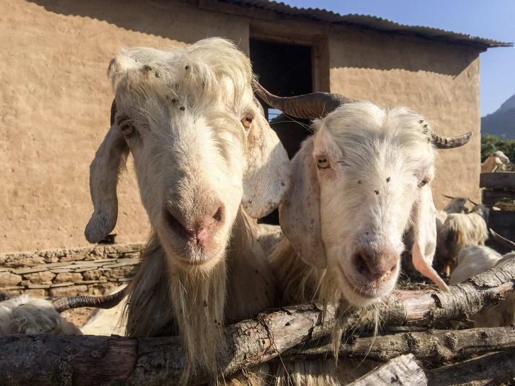 Goat Village - streettrotter